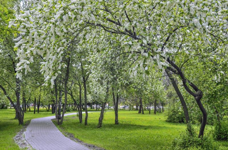 Paesaggio urbano della molla nel parco della citt? con i ciliegi sboccianti dell'uccello fotografie stock libere da diritti