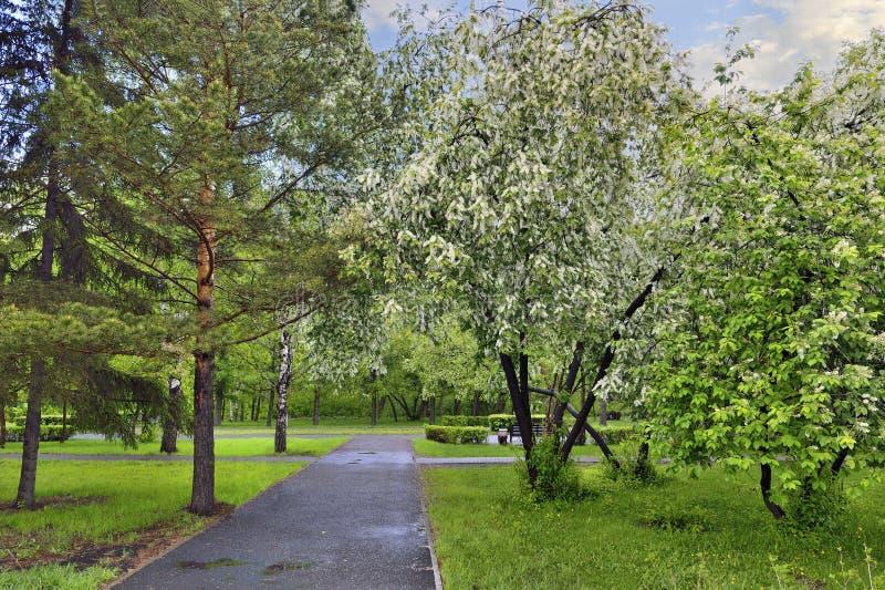 Paesaggio urbano della molla nel parco della citt? con i ciliegi sboccianti dell'uccello immagine stock