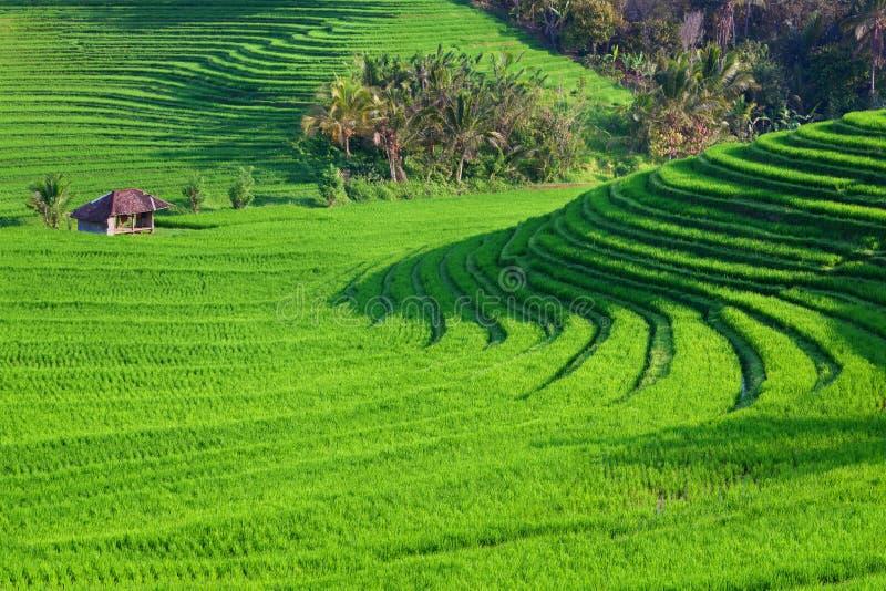 Paesaggio verde dei terrazzi del riso sull'isola di Bali immagine stock libera da diritti