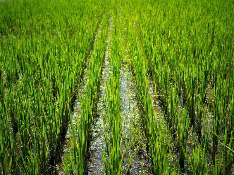 Paesaggio verde della natura con il giacimento del riso del gelsomino della risaia in Tailandia immagine stock