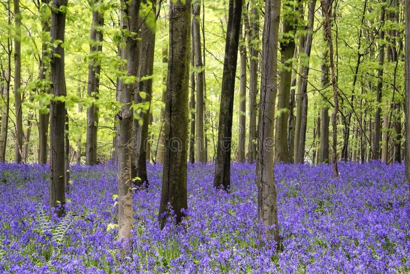 Paesaggio vibrante della foresta della primavera del tappeto di campanula fotografie stock libere da diritti