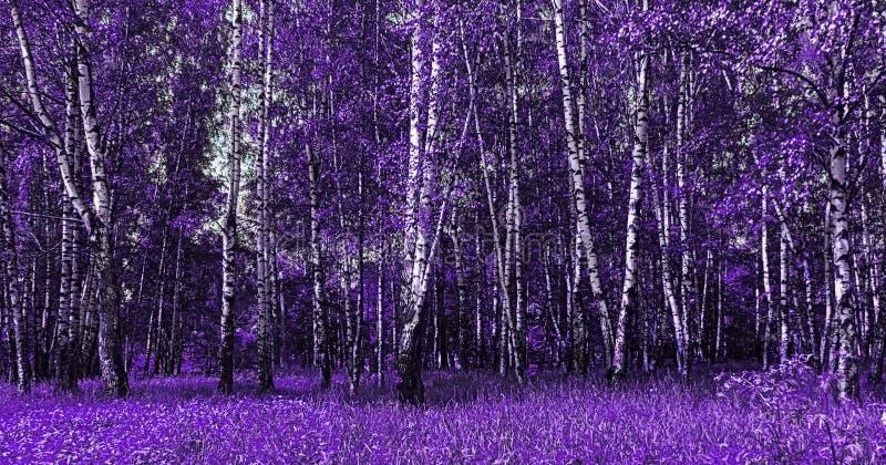 Paesaggio viola degli alberi di betulla illustrazione di stock