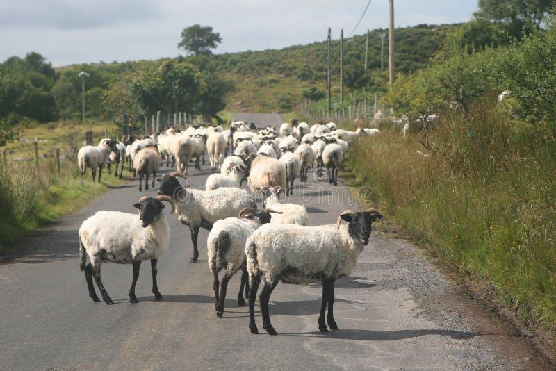 Paese delle pecore fotografia stock