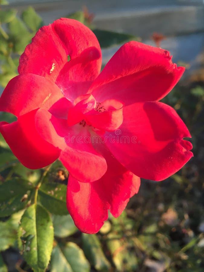 Paese Rosa fotografia stock libera da diritti