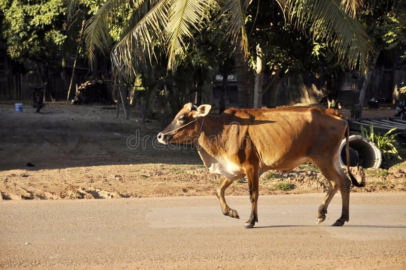 Paese Tailandia della strada della camminata della mucca immagini stock