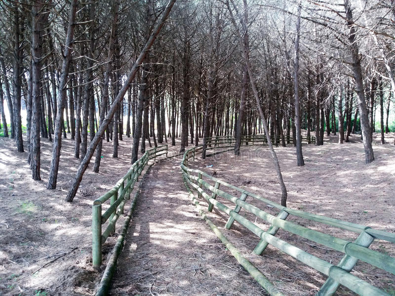 Paestum pine forest. A path inside the pine grove of paestum in italy stock photo