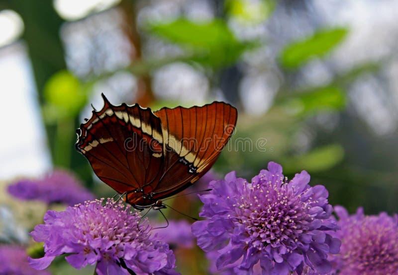 Page Rouillé-inclinée par papillon sur la fleur de pelote à épingles bleue photo stock
