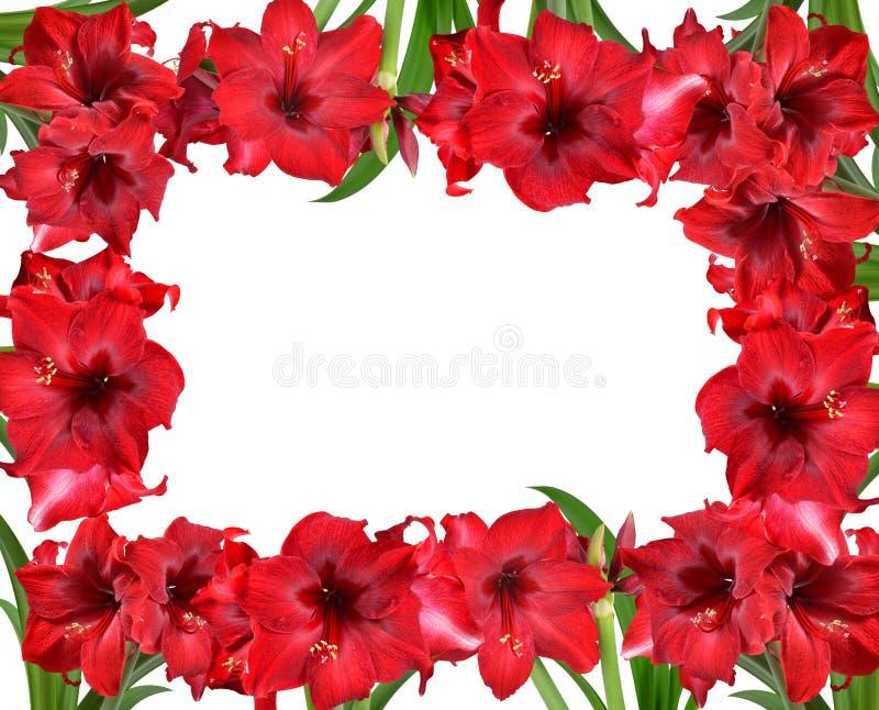 Pagina dal fiore rosso di Amaryllis fotografia stock