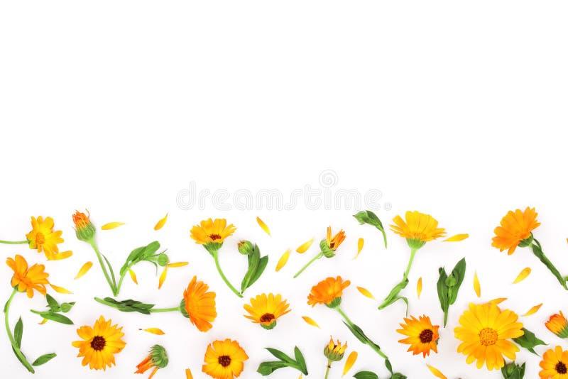 Pagina della calendula Fiore del tagete isolato su cenni storici bianchi Angolo con lo spazio della copia per il vostro testo Vis immagini stock libere da diritti