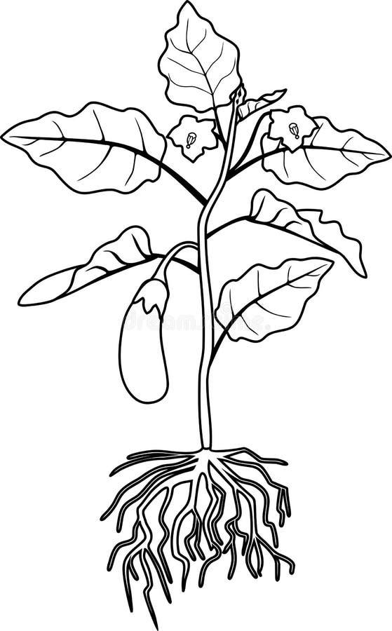 Pagina di coloritura Melanzana con il sistema delle foglie, della frutta e della radice royalty illustrazione gratis