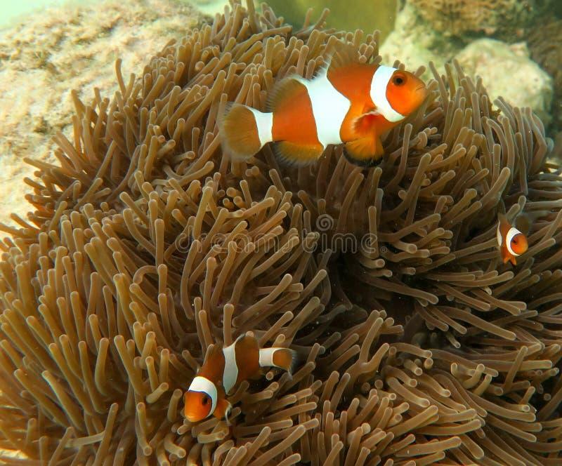 Pagliaccio Anemone Fish e mare Anenome fotografia stock libera da diritti