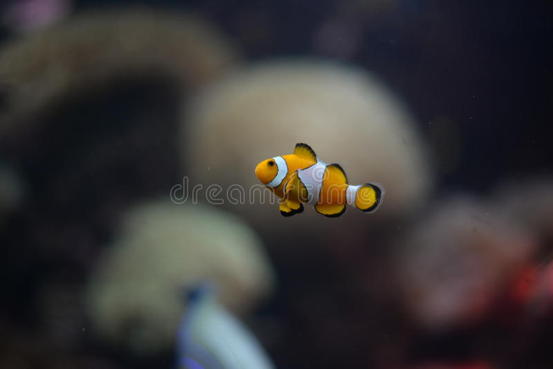 Pagliaccio Fish immagine stock