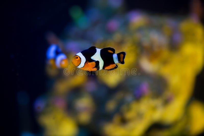 Pagliaccio Fish Swimming fotografia stock