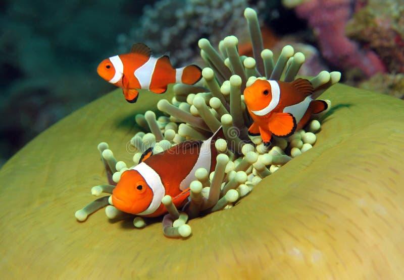 Pagliaccio occidentale Anemonefish immagine stock libera da diritti