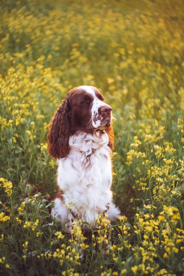 ?pagneul de springer anglais de race de chien dans le domaine de fleurs sauvages d'?t? L'animal familier triste mignon se repose  photo libre de droits