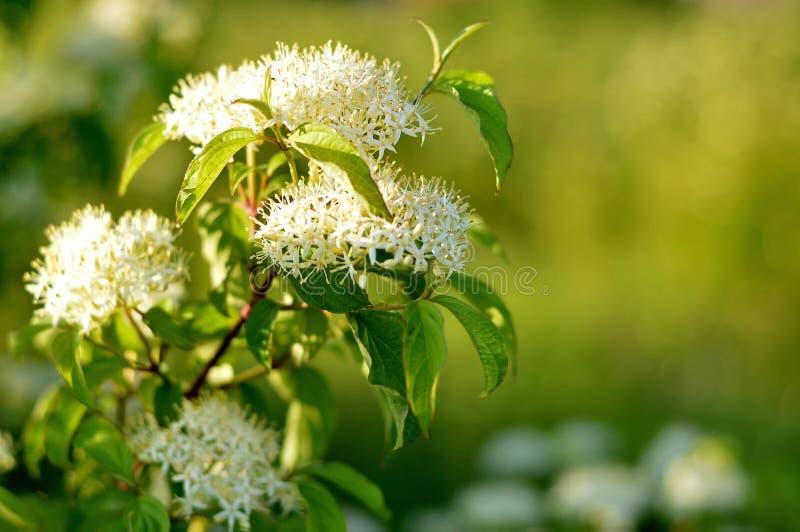 Pagoden-Hartriegel-Kornelkirsche alternifolia lizenzfreies stockfoto