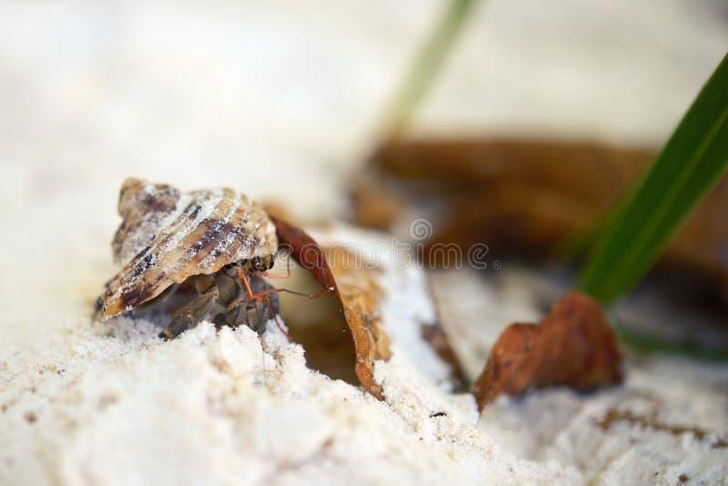 Paguro che si nasconde nelle coperture sulla spiaggia di sabbia bianca fotografia stock
