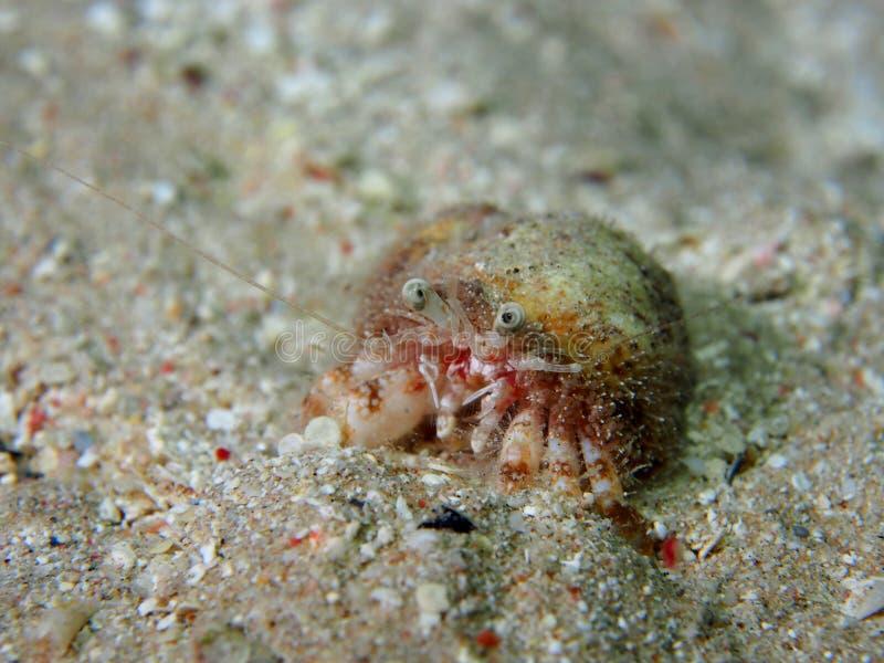 Paguro raro con l'anemone dentro le coperture immagini stock libere da diritti