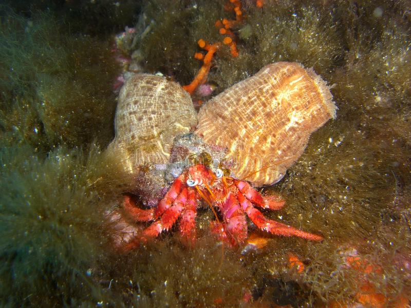 Pagurus berhnardus and actinia. In mediterranean sea royalty free stock photos