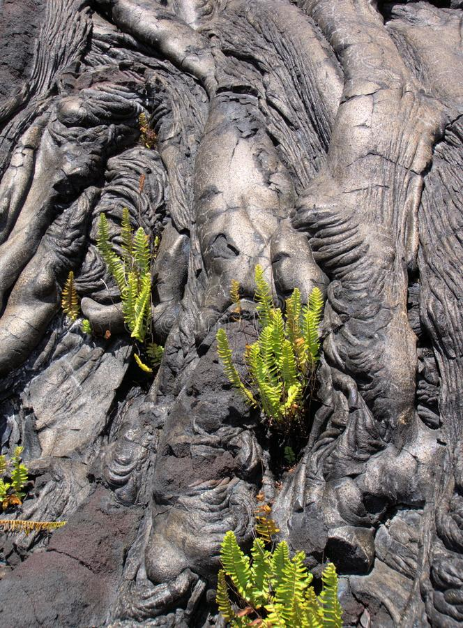 Pahoehoe lava and ferns. A mass of pahoehoe lava cascading over a ridge, with ferns growing in the crevices. Taken along the Chain of Craters Road, Hawaii royalty free stock image