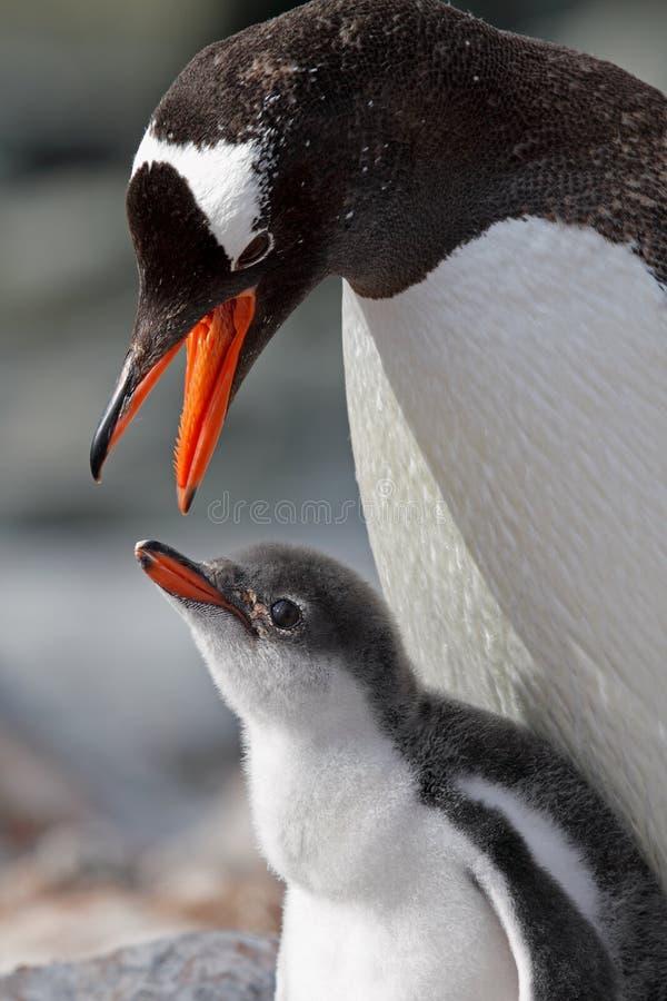 Pai do pinguim de Gentoo aproximadamente para alimentar jovens imagens de stock