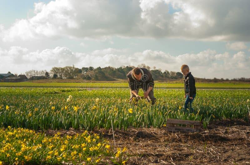Pai e filho que trabalham nos campos de flor, escolhendo grupos de imagens de stock royalty free