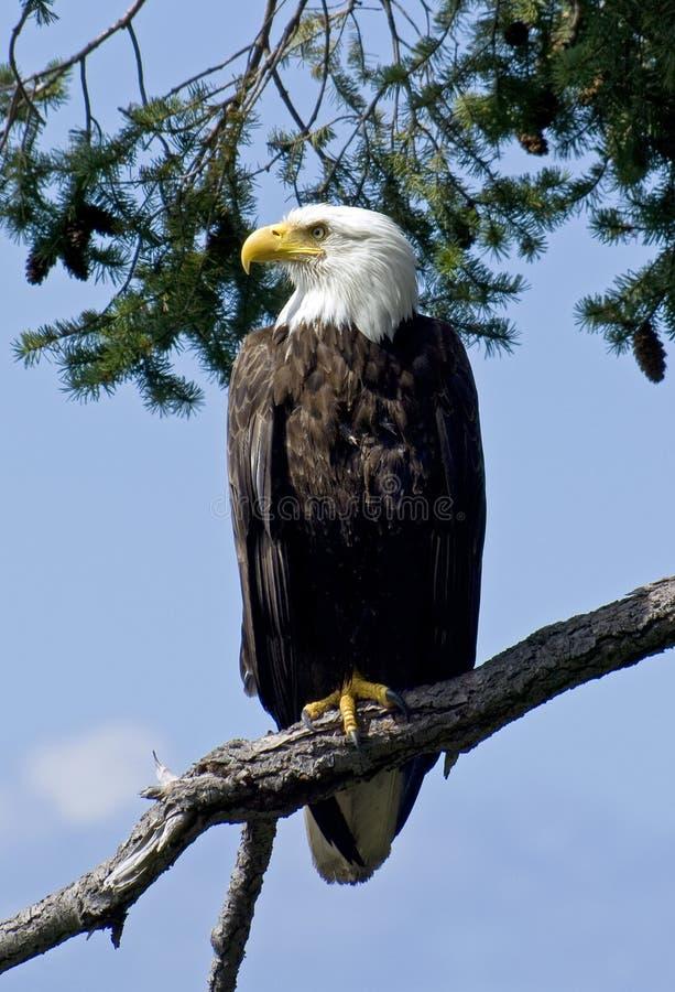 Pai orgulhoso 1 da águia calva imagem de stock