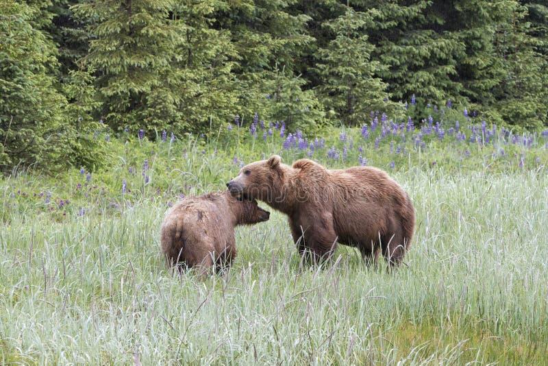 Paia accoppiamento dell'orso grigio con i Wildflowers nei precedenti immagini stock libere da diritti