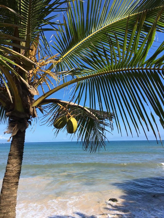 Paia Beach Coconut Tree royalty free stock images