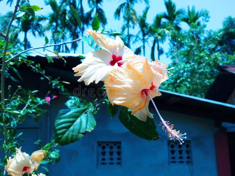 Paia bianche della rosa cinese che appendono sul ramo fotografia stock libera da diritti
