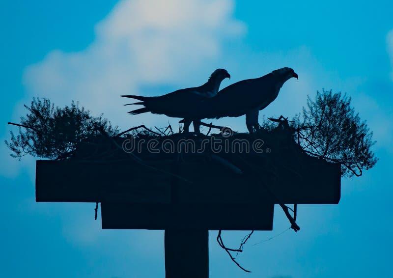 Paia degli Ospreys in siluetta immagini stock