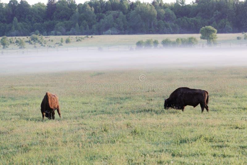 Paia del bonasus europeo selvaggio del bisonte dei tori del bisonte sul prato nel parco nazionale di Bialowieza in Polonia fotografia stock