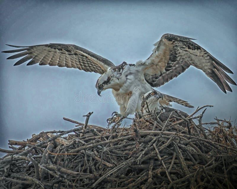 Paia del falco pescatore sul nido immagini stock