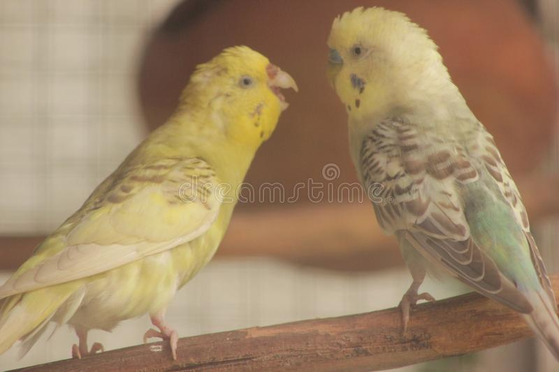 Paia del pappagallo di Budgies immagine stock