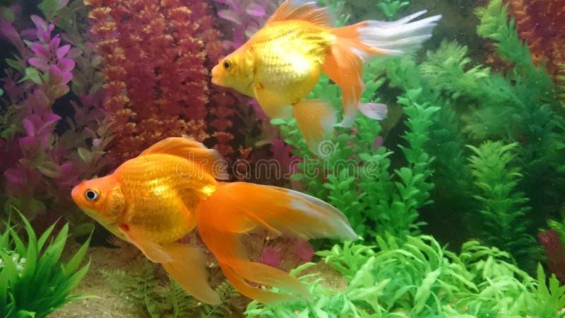 Paia del pesce dell'oro in acquario fotografia stock libera da diritti