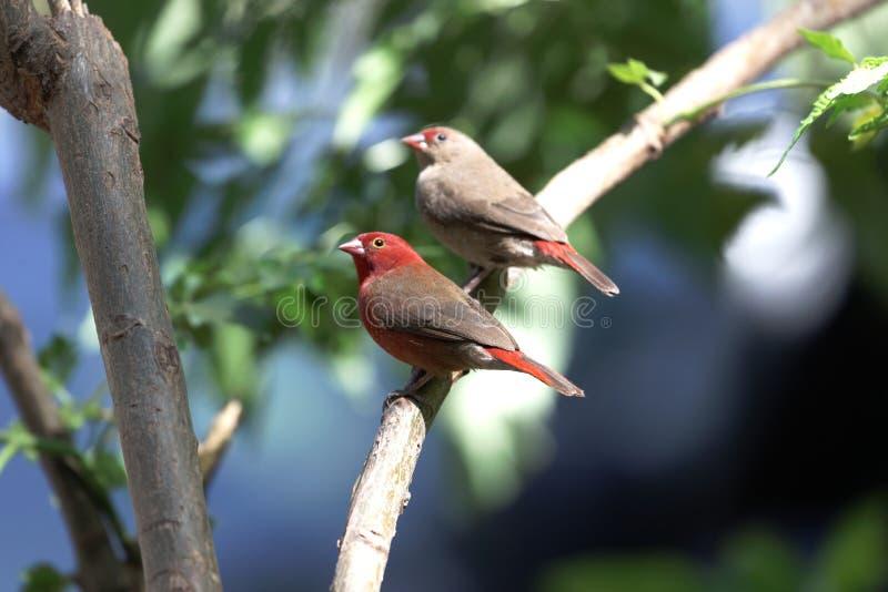 Paia del senegala di Lagonosticta dei firefinches fatturato rosso immagine stock