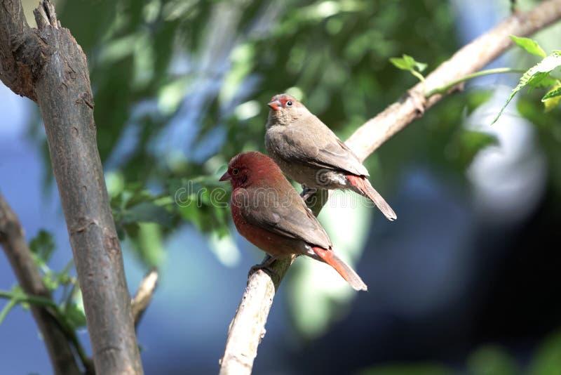 Paia del senegala di Lagonosticta dei firefinches fatturato rosso immagini stock libere da diritti