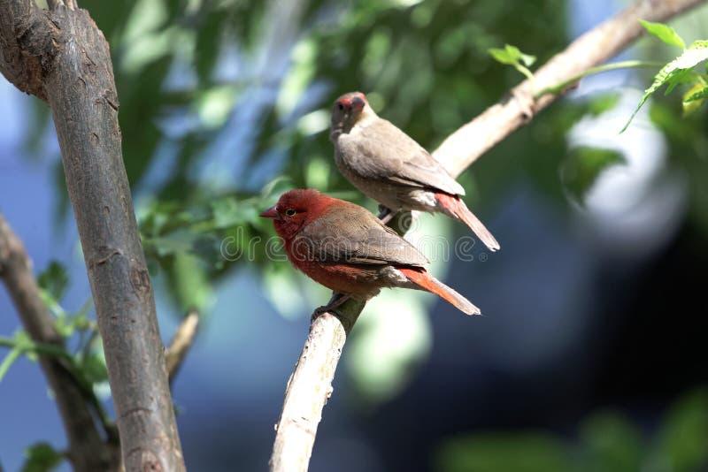 Paia del senegala di Lagonosticta dei firefinches fatturato rosso immagine stock libera da diritti