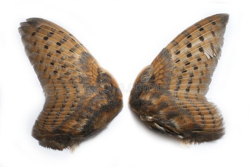 Paia delle ali del gufo fotografia stock