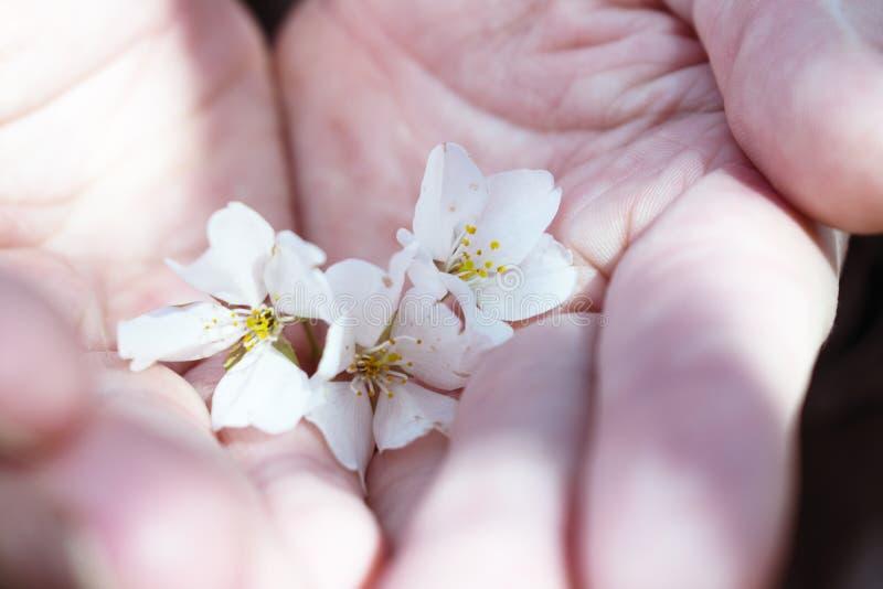 Paia delle mani che tengono i fiori di ciliegia fotografia stock