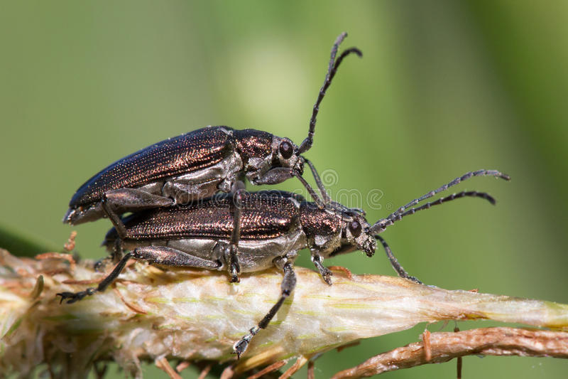 Paia di copulare acquatico di distincta di Donacia degli scarabei di foglia fotografia stock