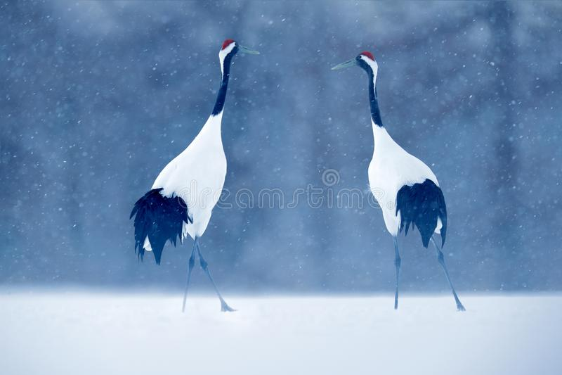 Paia di dancing della gru Rosso-incoronata con l'ala aperta in volo, con la tempesta della neve, l'Hokkaido, Giappone Uccello in  immagine stock