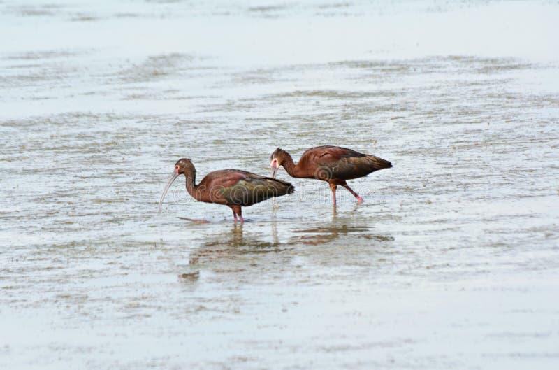 Paia di guadare ibis dalla faccia bianca migratore immagine stock