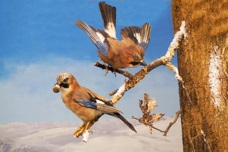 Paia di Jay su un ramo, con le piume variopinte e blu, alimento nel becco