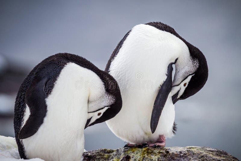Paia di pavoneggiarsi i pinguini di sottogola dell'Antartide fotografia stock