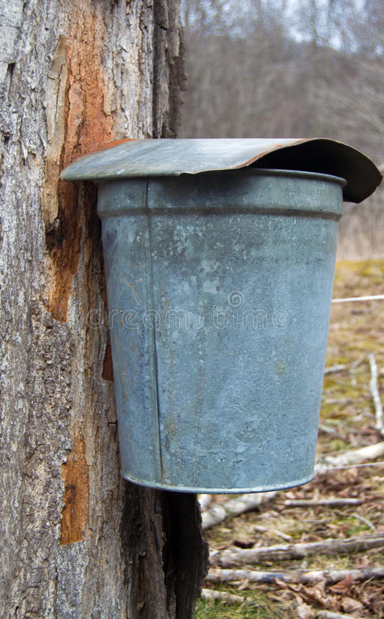 A Pail Collecting Sap To Make Maple Syrup. A pails on maple tree collecting sap to produce maple syrup and other maple products stock photo