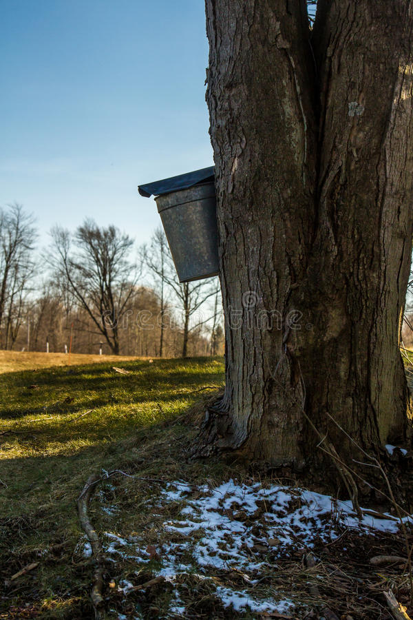 Download Maple taping time stock image. Image of tree, bucket - 30030309