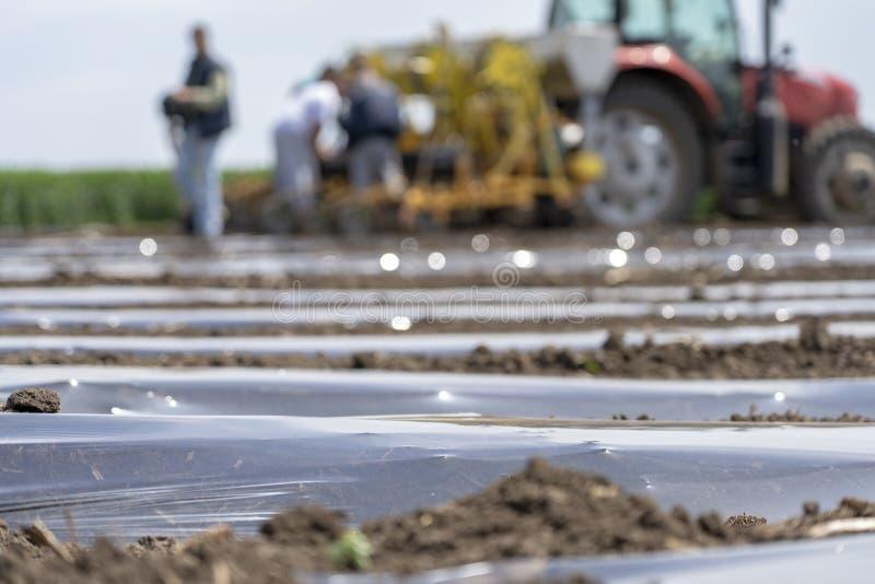 Paillage en plastique - utilisant les paillis en plastique et l'irrigation par égouttement pour la production végétale image stock