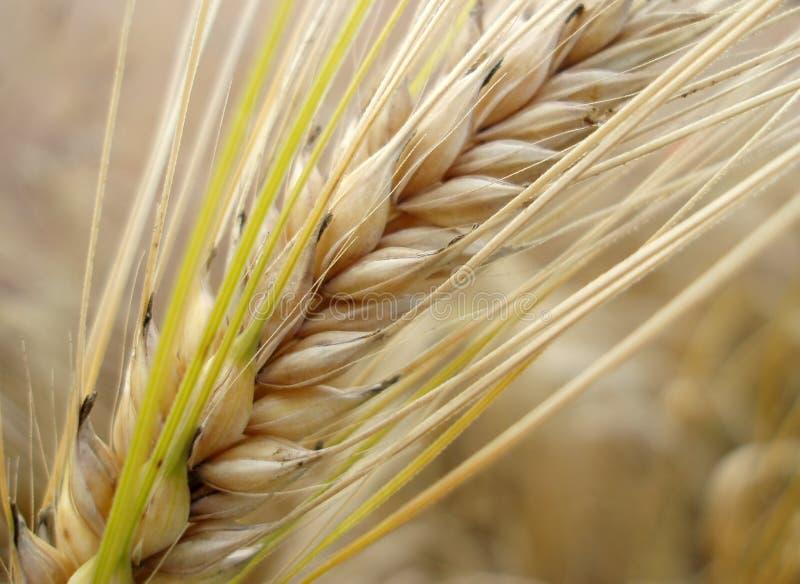Paille de maïs image stock