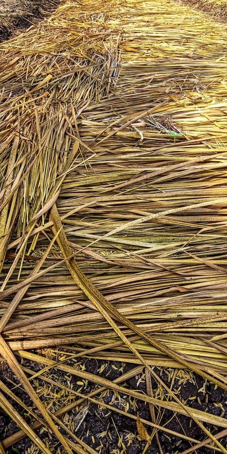 Paille qui couvre le riz photographie stock libre de droits
